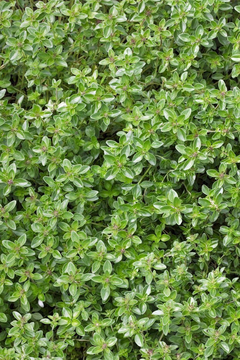ground thyme