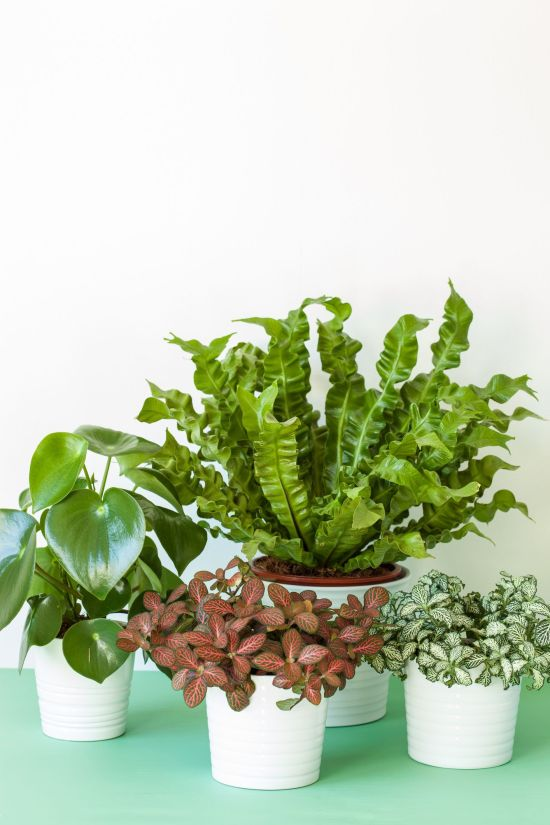houseplants asplenium nidus peperomia and fittonia royalty free image 946085220