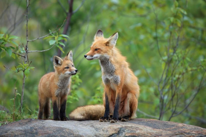 Red Fox & Kit