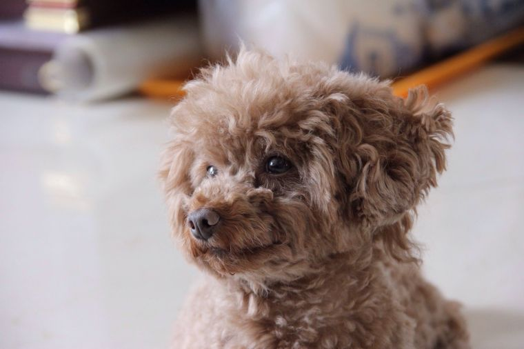 15 Teddy Bear Dog Breeds: Morki, Schnoodle, and More