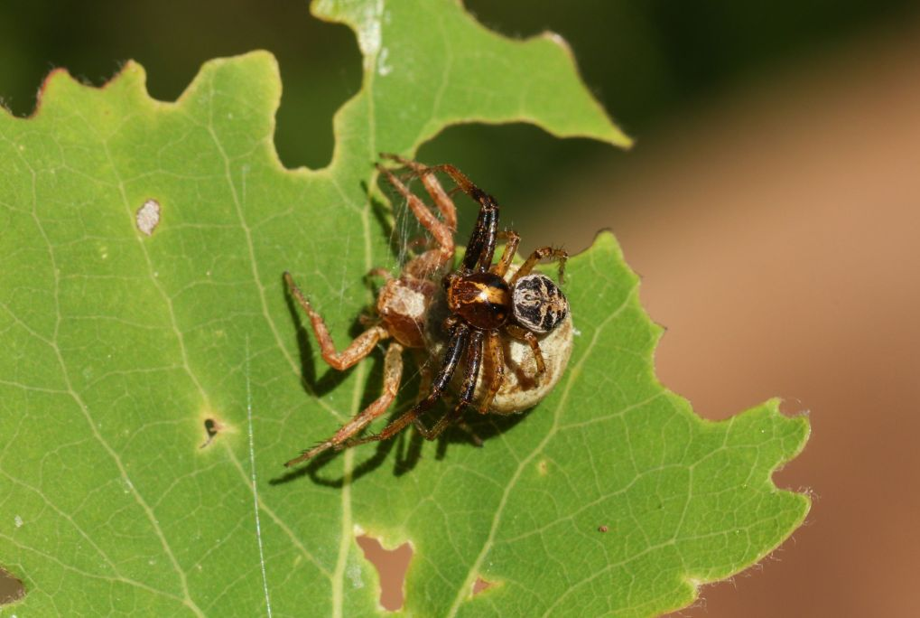 a tiny male crab spider