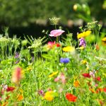 Sowing Wildflower Seeds To Create A Wildflower Garden How To Guide