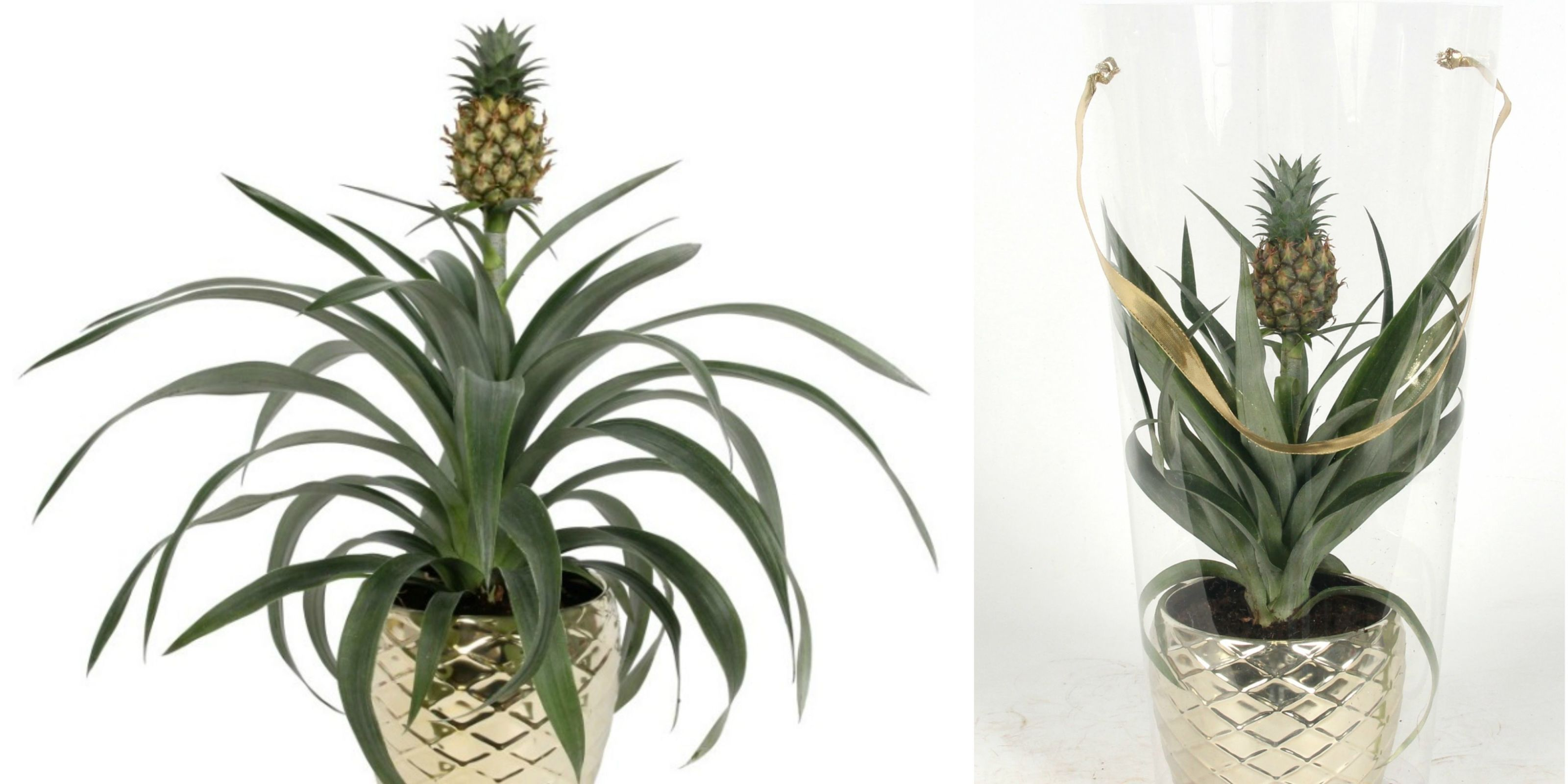 Asda Is Now Selling Pineapple Plants For 12 Asda Plants