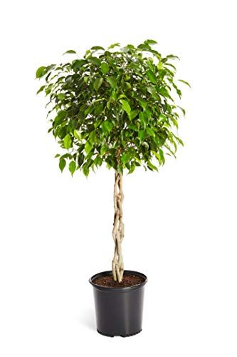 17 Best Indoor Trees Large Indoor Plants For Every Room In Your Home