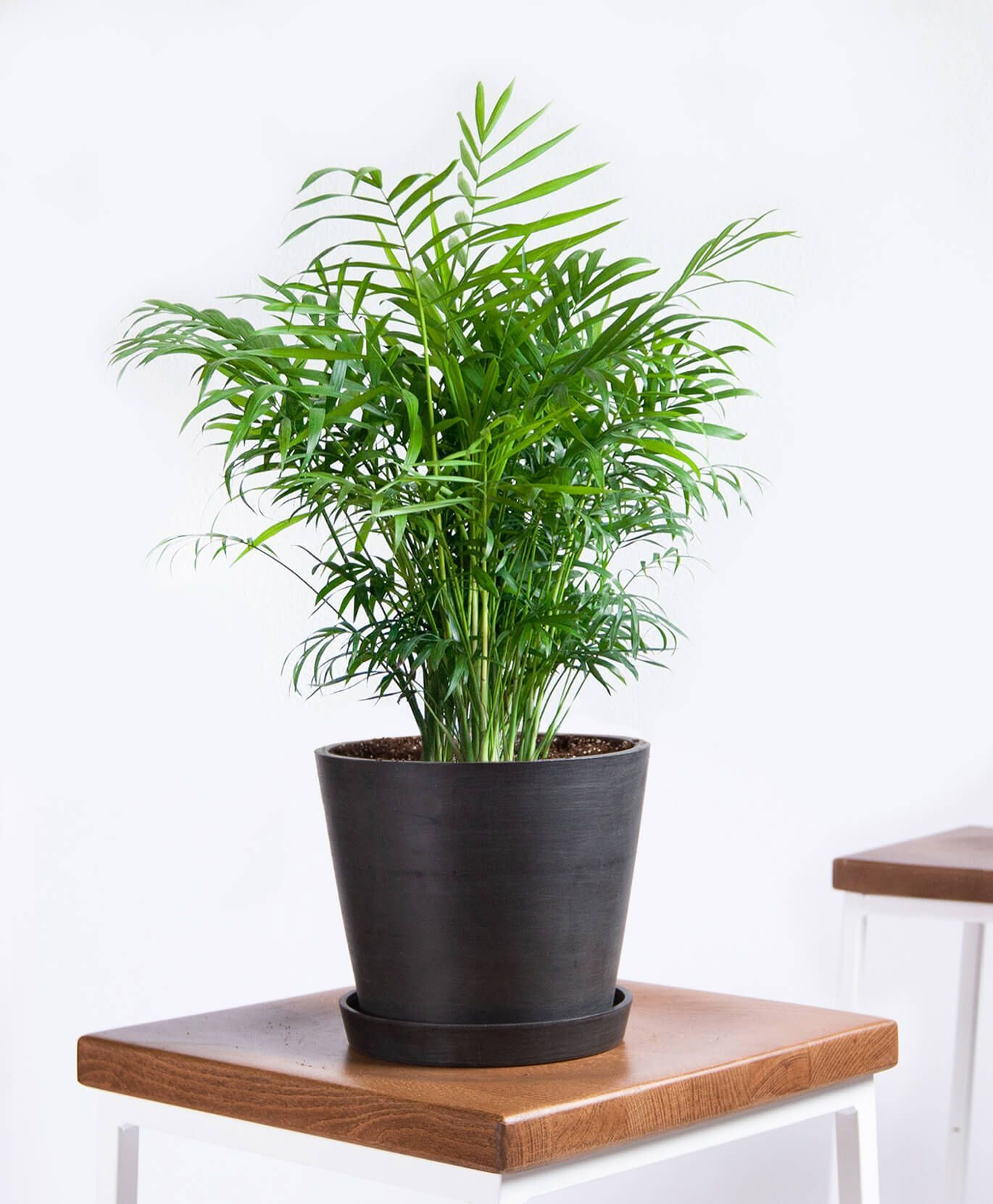 20 Best Tall Indoor Plants Best Indoor Trees For Your Home