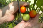 Off The Grid Living: The Space-Saving, 'Upside-Down Way' To Grow Indoor Tomatoes This Winter