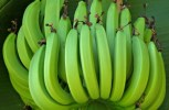 Off The Grid Living: How To Grow Bananas — No Matter Where Your Live