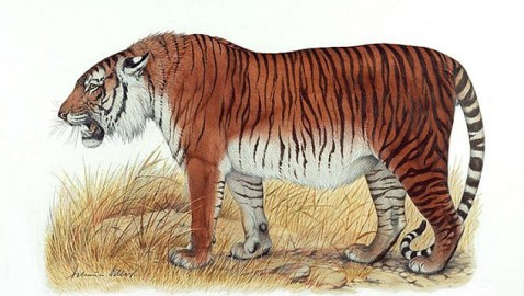The giant 300lb Caspian tiger could soon roam Central Asia once again: Scientists reveal plan to bring back extinct animal