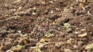 畑に種まいてナンチャッテ草マルチして一週間、やっと芽が出てきた!(ほうれん草,ネギ?,紅菜苔,クローバー,エンバク)