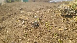 ファミリー菜園広場のネギ出てきた!育苗キットのキュウリは間引きしてカボチャはポットに移してみたけど元気ない・・・失敗か???