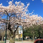 Cherry Blossoms: On the Brink of Spring