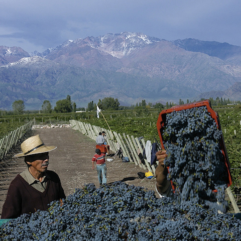 Malbec Harvest