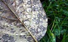 Rainy Leaf 4