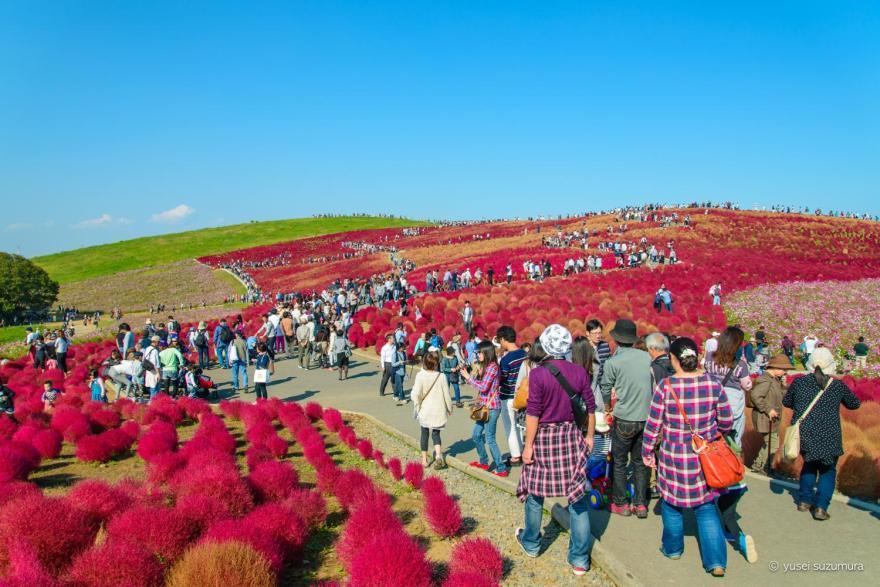 秋の紅葉のコキアの丘