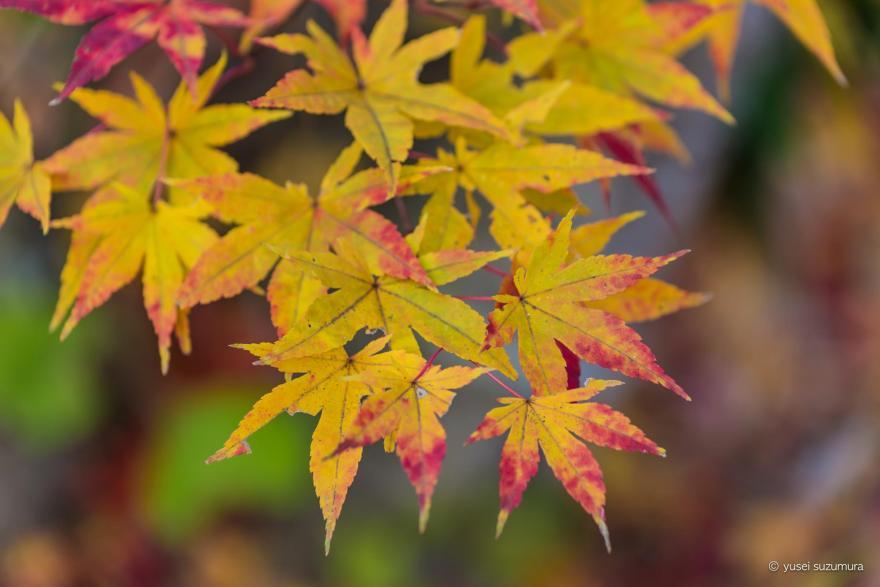 面白山 紅葉
