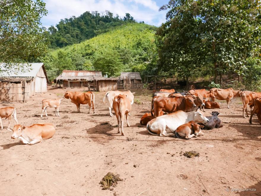 ラオス村 動物いっぱい