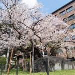 岩手県盛岡市・これぞ石割桜!これが盛岡のさくらまつり!!