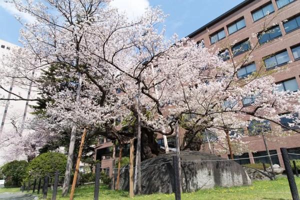 石割桜-01