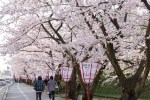 青森県弘前市・2016年も「弘前さくらまつり」の桜は絶景でした!