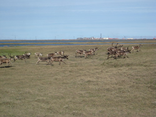 Prudhoe Bay Caribou