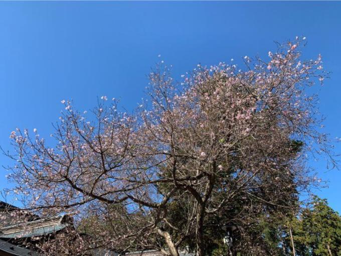 櫻木神社桜の木