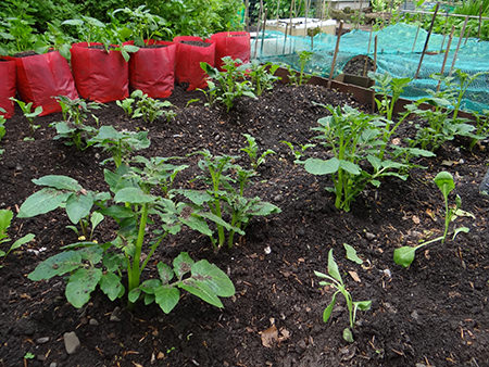 Potato plants thriving on our allotment in May 2015