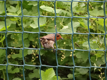 The robin perched on a fence on our allotment in May 2015