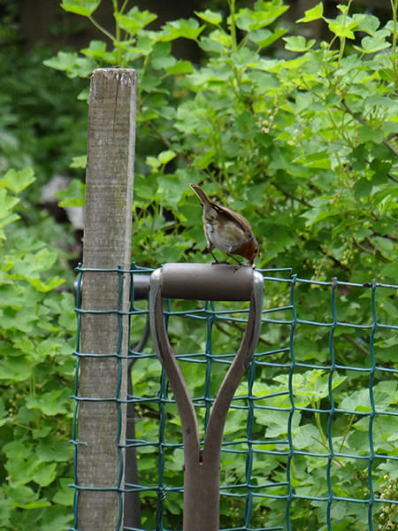 Robin perched on a spade handle on our allotment in May 2015
