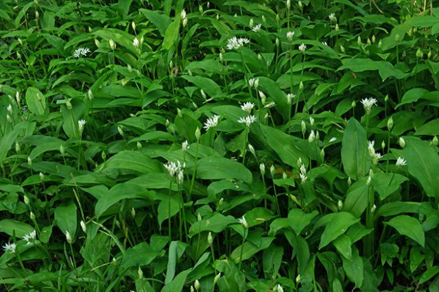 Allium ursinum - Wild garlic, damsons, wood garlic