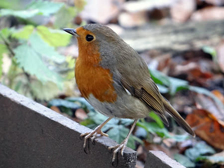 robin on our allotment