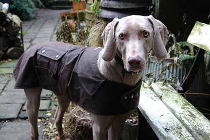 Fudge the Weimaraner in his new Drizabone Apsley wax dog coat