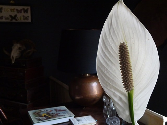 Detail of peace lily flower | H is for Home