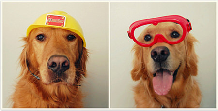 Golden retriever dogs wearing hard hat and saftey goggles
