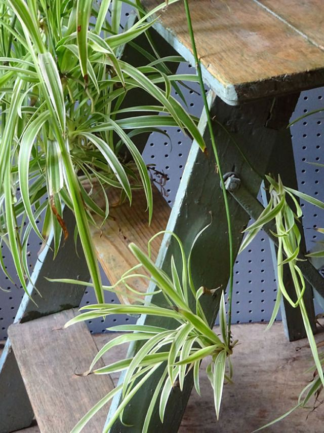 Vintage industrial step ladder with spider plant | H is for Home