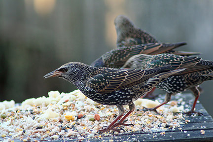 Starlings eating on a bird table
