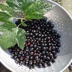 Canned blackcurrants