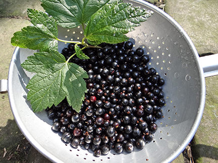 Colander of blackcurrants | H is for Home