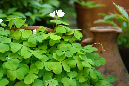 self seeding clover type plant | H is for Home