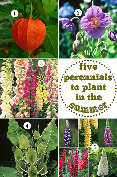 five perennials to plant in the summer