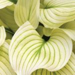 Wednesday Wish: Hosta White feathers