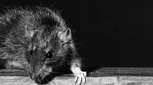 Oda a las ratas del subway