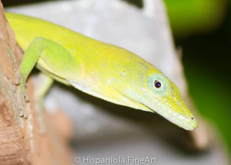 Anolis chlorocyanus / Green Anole