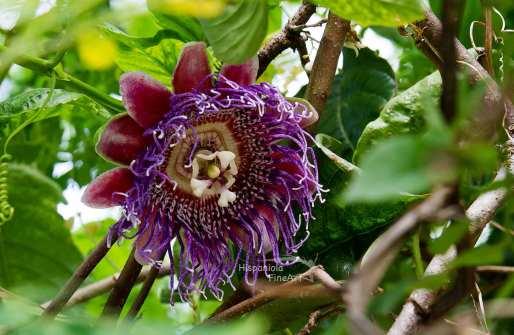 granadilla, Passiflora ligularis