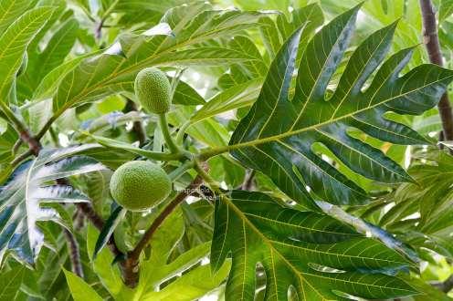 Brotfruchtbaum , Artocarpus altilis