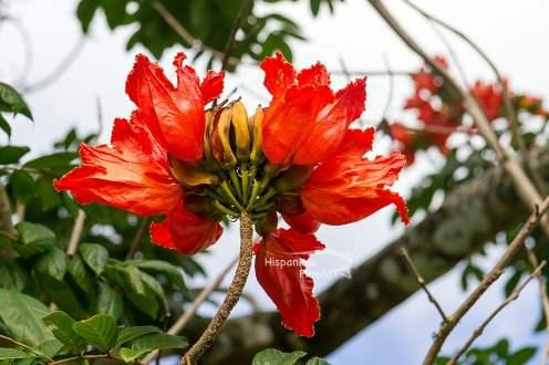 Tulpenbaum, Spathodea campanulata