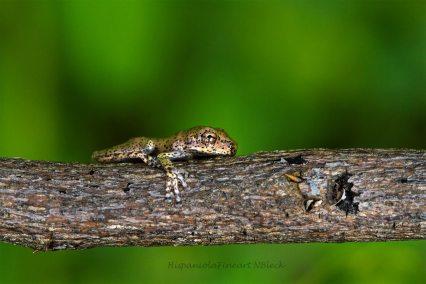 Osteopilus dominicensis / Rana platanera (Juvenil)