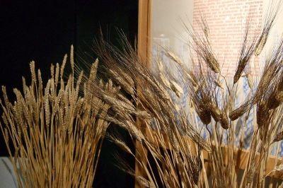 musée blé tendre blé dur