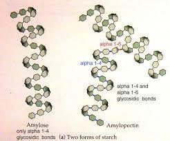 amylose amylopectine