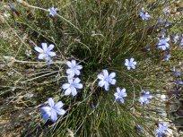 Aphyllanthe monspeliensis / Aphyllanthe de Montpellier. Bragalon ( Oc ).