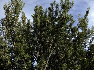 Poirier à feuilles d'amandier ou Poirier faux - amandier. Pyrus amygdaliformis.